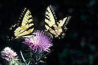 INSECTS<br /> Tiger Swallowtails<br /> Iona Island, NY