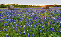Texas Bluebonnet Sunrise - Texas Bluebonnet Wildflowers at a Ranch south of Dallas with Hay bales at sunrise.  This is one of the best field of Texas bluebonnets and indian paintbrush  wildflowers with these hay bales in the back road of texas we found this year.  You can see the sun rays over the hay bales just as the sun was coming up on this spring morning near in the back roads.  It is alway a good to find the Texas State Flower or lupine in such abundance no matter where you find it in springtime.