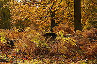 Trees and ferns in Autumn leaf, Dunham Massey, Trafford, Greater Manchester.