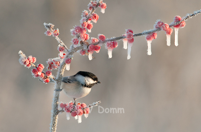 Chickadee and icy berries