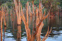 flooded trees in the rainforest, rio negro, amazonas, brazil