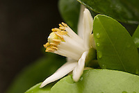 The white flower of a Natsumikan (Citrus natsudaidai.