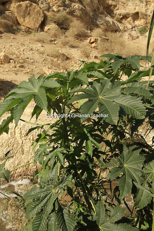 Ricinus plant at Nahal Kidron in the Judean Desert