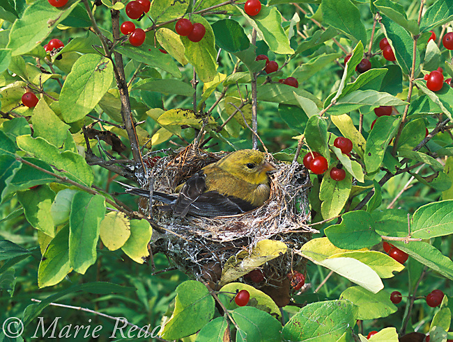 American Goldfinch (Carduelis tristis) female incubating on nest in late summer, New York, USA