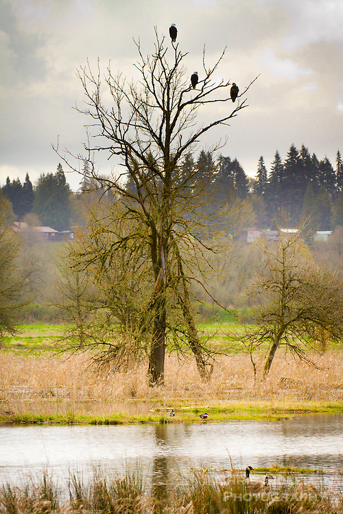 Three Bald Eagles with 2 adults and 1 juvenile eagle are sitting in a leafless tree above a pond with geese and ducks on a cloudy day overlooking the Ridgefield National Wildlife Refuge.