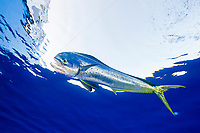 common dolphinfish, mahi-mahi, Coryphaena hippurus), hooked, on a line, Cat Island, Bahamas, Caribbean Sea, Atlantic Ocean