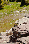 A young mountain goat kid peeks its head around some rocks near the Hidden Lake Overlook in Glacier National Park, Montana.