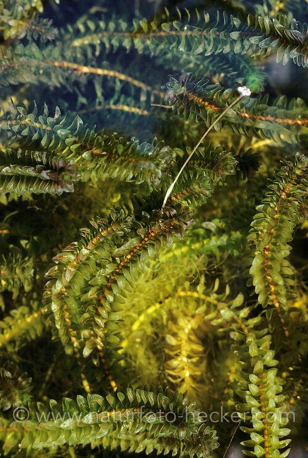 Kanadische Wasserpest, blühend, Elodea canadensis, Canadian Pondweed