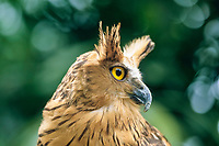 Barred eagle owl, Bubo sumatranus, Bird Park, Bali, Indonesia
