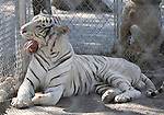 A Royal White Bengal Tiger at The CatTales Zoological Park -The Zoo School. in Mead, Washington on August 25,2009                                                                   Copyright 2009 Debbie VanStory / RockinExposures