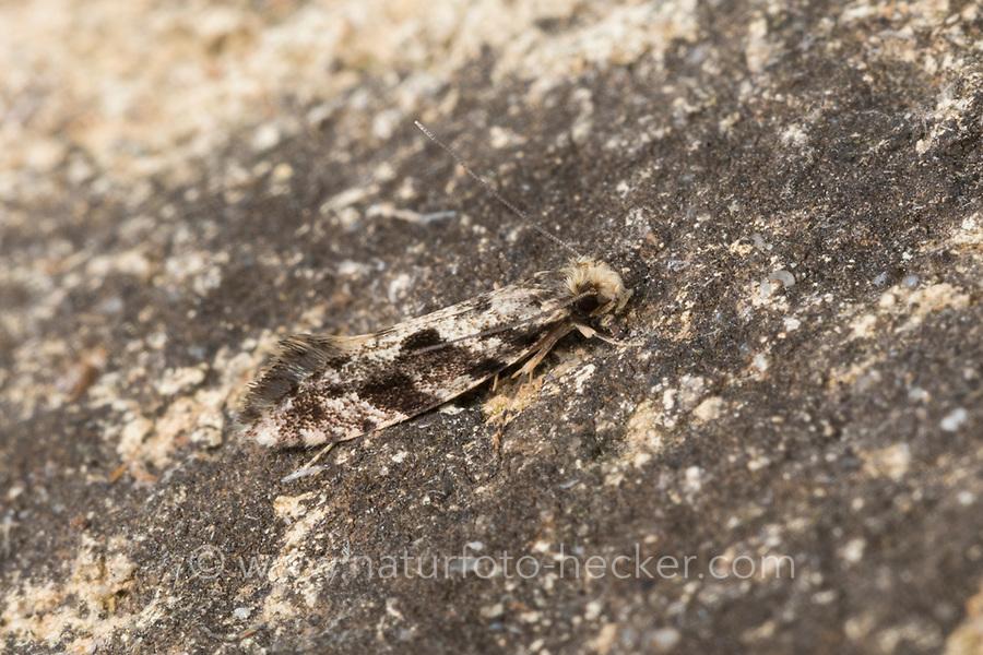 Motte, Nemapogon spec., tineoid moth, Tineidae, Echte Motten, tineoid moths
