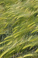 Winter Barley<br /> ©Tim Scrivener Photographer 07850 303986<br />      ....Covering Agriculture In The UK....