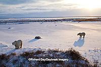01874-13104 Polar Bears (Ursus maritimus) at sunrise, Churchill Wildlife Management Area, Churchill, MB