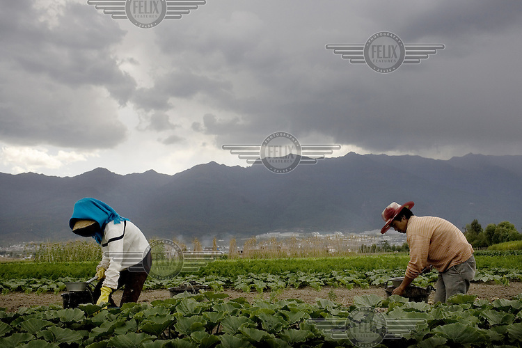 Farm labourers tending to crops in the field near the city of Dali.