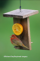 01528-00406 Summer Tanager (Piranga rubra) 1st year male, at orange feeder, Marion Co. IL