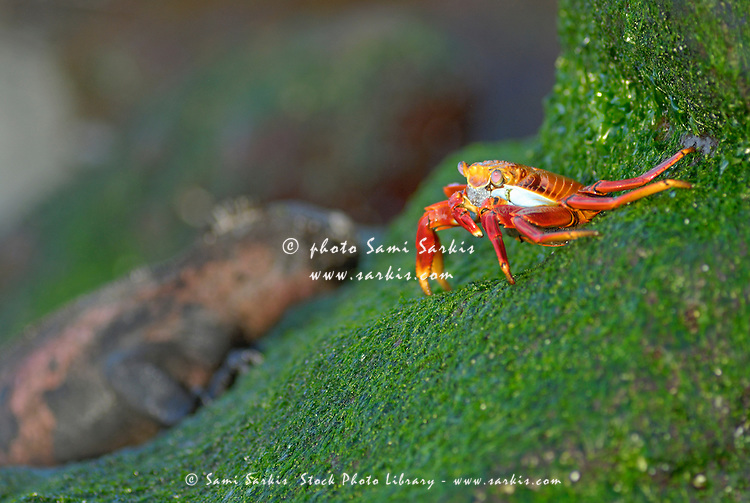 Sally Lightfoot Crab (Grapsus grapsus), on rock, Espanola Island, Galapagos Islands, Ecuador