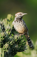 Cactus Wren (Campylorhynchus brunneicapillus), adult perched on Cane Cholla (Opuntia imbricata), Laredo, Webb County, South Texas, USA