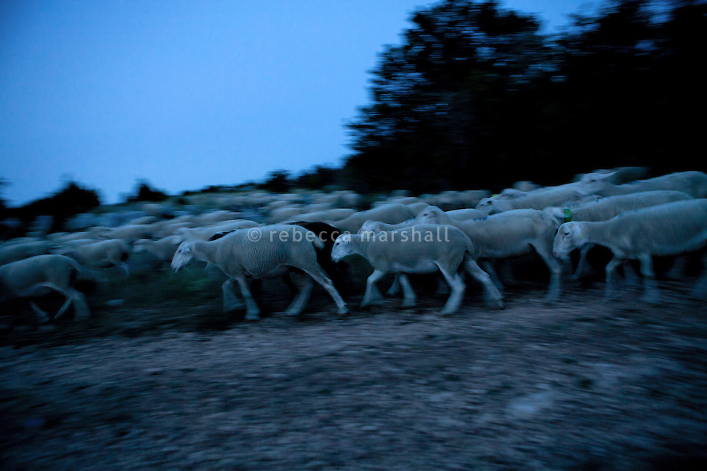 As the sun sets, Isabelle Feynerol's flock of sheep, herded by her sheepdog, arrive back down in the valley close the hamlet of Canaux in the Alpes Maritimes above Grasse, France, 02 August 2013. They are kept overnight in a barn where they will be safe from wolf attacks.