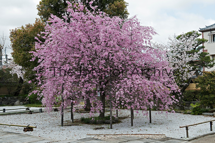 A weeping cherry tree in full bloom