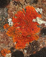 Flame Firedot Lichen (Caloplaca ignea). Pinnacles National Monument. San Benito Co., Calif.