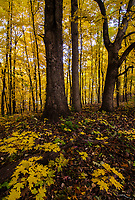 Fall foliage fills the air and the forest floor at Hammel Woods Forest Preserve in Will County, Illinois