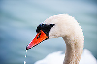 Mjölkö, Sweden. Mute swan.
