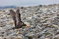 Black oystercatcher, Prince William Sound, southcentral, Alaska.