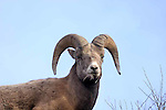 SHEEP; bighorn sheep