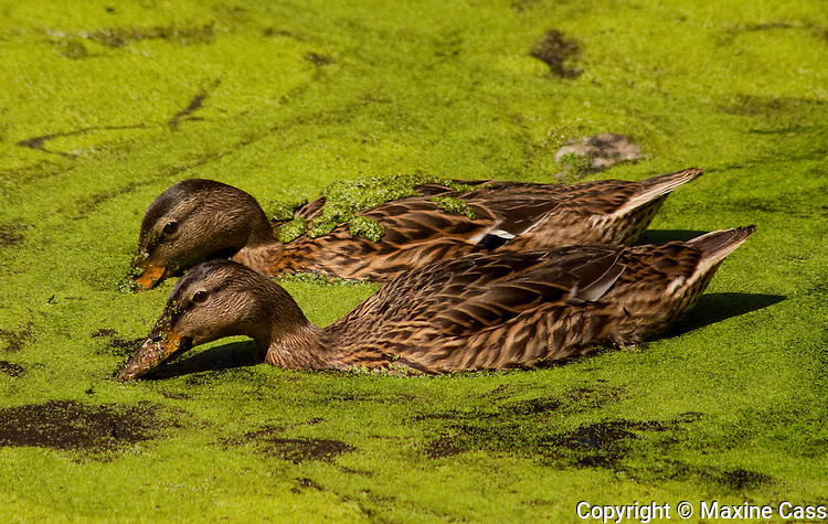 Two Mallard ducks (Anas platyrhynchos) [Wild] dip beaks in tandem into green-surfaced pond, Golden Gate Park, San Francisco, California, United States of America
