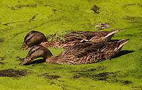 Two Mallard ducks (Anas platyrhynchos) [Wild] dip beaks in tandem into green-surfaced pond, Golden Gate Park, San Francisco, California, United States of America