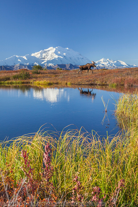 Bull moose stands on the autumn colored tundra by a small kettle pond with the summit of Denali in the distance, Denali National Park, Alaska.