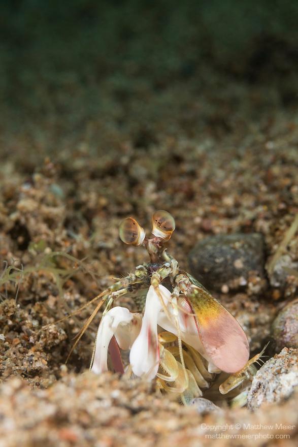 Dumaguete, Dauin, Negros Oriental, Philippines; a mantis shrimp near the entrance to it's burrow