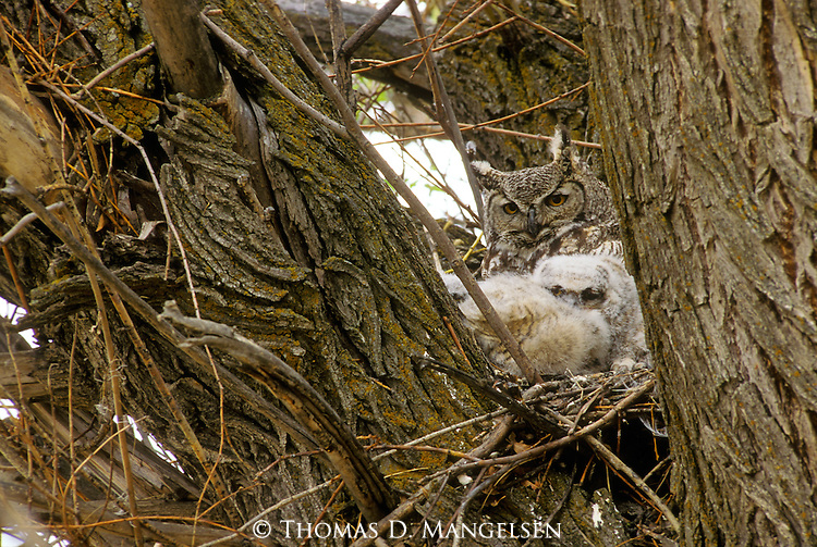 Great horned owl nesting with its young.
