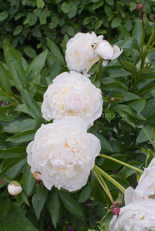 Paeonia lactiflora, double peony white, pale pink with yellow center herbaceous (need id)