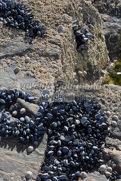 France, Côtes-d'Armor (22), Côte d'Emeraude, Matignon: Baie de La Fresnaye Moules // / France, Brittany, Cotes-D'Armor,  Emeraude coast ,Matignon: <br /> Bay of La Fresnaye : Mussels