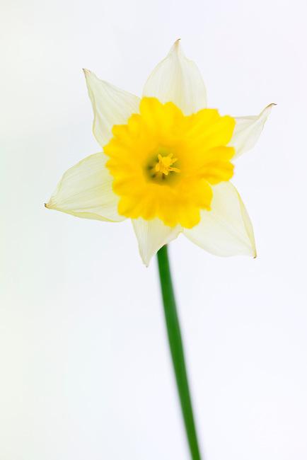 Single yellow daffodil on white background
