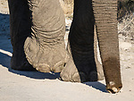 Elephant Feet And Trunk.