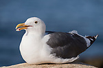 La Jolla, California; an adult Western Gull sitting on the rocky shore with the Pacific Ocean in the background in late afternoon sunlight