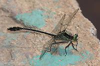 Black-shouldered Spinyleg (Dromogomphus spinosus) Dragonfly - Male, Conant Brook Dam, Monson, Hampden County, Massachusetts