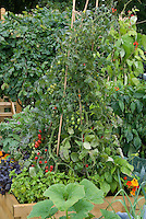 Vegetable garden cherry tomatoes staked on teepees, basil, herbs, runner beans, squash, peppers, nasturtiums, flowers in raised beds