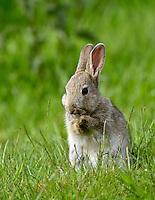 Rabbit - Oryctolagus cuniculus