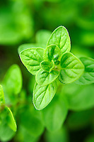 Fresh oregano leaves
