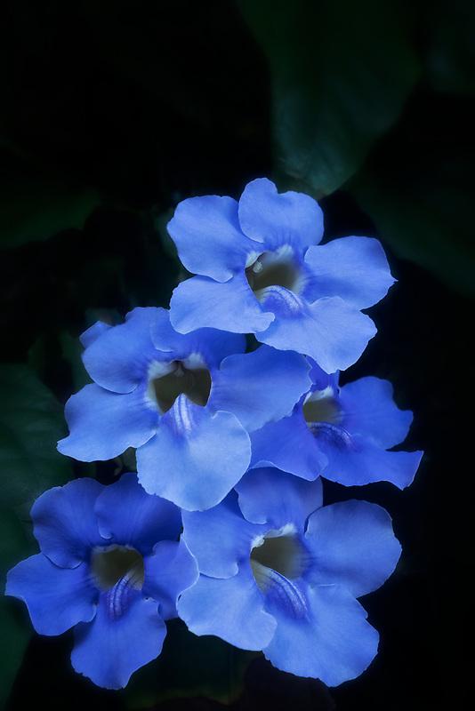 Close up of Alamanda flowers. Maui, Hawaii