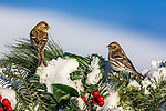 Common redpolls perched on a decorated white picket fence.