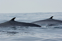 Fin Whale, Balaenoptera physalus, Dorsal fins of two animals surfacing together, Off the coast of San Diego California