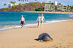 Hawaiian Monk Seal on the beach at Ka'anapali, Maui.  Black Rock and the Sheraton Hotel are in the distance. The Hawaiian monk seal, Monachus schauinslandi, is an endangered earless seal that is endemic to the waters off of the Hawaiian Islands