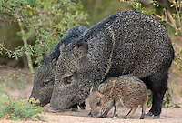 650520220 a wild baby javelina dicolytes tajacu interacts with its mother on beto gutierrez ranch hidalgo county texas united states