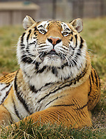 NWA Democrat-Gazette/BEN GOFF -- 03/09/15 BB King, one of many rescued tigers living at Turpentine Creek Wildlife Refuge near Eureka Springs on Monday Mar. 9, 2015.