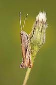Rufous Grasshopper - Gomphocerippus rufus - male