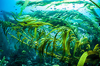 giant kelp forest, Macrocystis pyrifera, Santa Barbara Island, Channel Islands National Park, Channel Islands National Marine Sanctuary, California, USA, Pacific Ocean